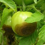Phytophthora en tomate